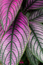 Big purple and green leaves Royalty Free Stock Photo