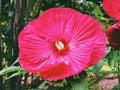Big purple red hibiscus flower blooming Royalty Free Stock Photo