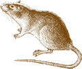 Big rat Royalty Free Stock Photos