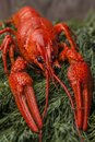 Big red boiled lobster on green drill background. Beer snacks.