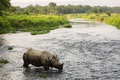 Big rhino in a river in Chitwan Park, Nepal Royalty Free Stock Photo