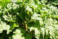 Rhubarb Leaves Royalty Free Stock Photo