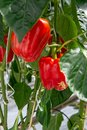 Big ripe sweet red bell peppers, paprika, growing in glass green Royalty Free Stock Photo