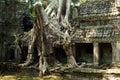 banyan tree roots at Angkor Wat
