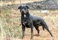 Big Rottweiler mix breed dog outside on leash at sunrise Royalty Free Stock Photo