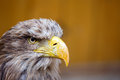 Big sea eagle haliaeetus albicill looking ahead portrait of with space for text Stock Photo