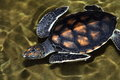 Big sea turttle head and armor large turtle that swims in the water Royalty Free Stock Photography