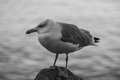 Big seagull bird standing on the rock Royalty Free Stock Photo