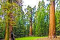 Big sequoias in beautiful sequoia national park tall and Stock Photography