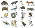 Big set of australian and new zealand symbols, animal engraved, hand drawn vector , vintage drawing tasmanian wolf, kea