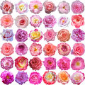 The big set of roses blooms light Stock Photo