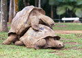 Big Seychelles turtle in La Vanille Reserve park. Stock Photo