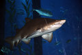 Big shark in the aquarium close up natural light Royalty Free Stock Photo