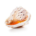 Big shell seashell isolated on white background clipping path included Royalty Free Stock Images