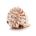 Big shell seashell isolated on white background clipping path included Stock Photos