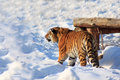 Big siberian tiger is waiting for its prey. Royalty Free Stock Photo