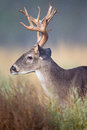 Big side portrait of whitetail buck Royalty Free Stock Photo