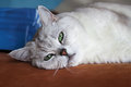 Big silver British cat with intelligent, beautiful pensive, dreamy green eyes resting on the couch and attentively Royalty Free Stock Photo