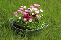 Big silver bucket full of daisy pink red and white daisy flower summer decoration Stock Images
