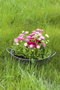Big silver bucket full of daisy pink red and white daisy flower summer garden decoration Stock Photography
