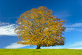 Big single beech tree at fall autumn Royalty Free Stock Photography