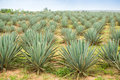 Big sisal plantation Royalty Free Stock Photo