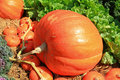 Big size of pumpkin Stock Photography
