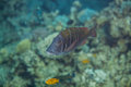 Big sky emperor fish lethrinus mahsena mahsena imperor swimming in red sea Royalty Free Stock Photography