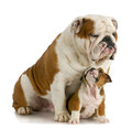Big and small dog Stock Images
