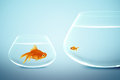 Big and small goldfish Royalty Free Stock Photo