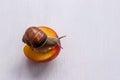 Big snail eating nectarine on a white background