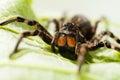 Big Spider On Green Leaf