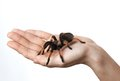Big spider on  hand Royalty Free Stock Photo