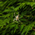 Big spider in its web Royalty Free Stock Images