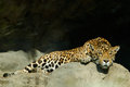 Big spotted cat Sri Lankan leopard, Panthera pardus kotiya, lying on the stone in the rock, Yala national park, Sri Lanka Royalty Free Stock Photo