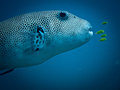Big Star Puffer Fish and Juvenal Golgen Trevaly Royalty Free Stock Image