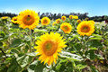 Big sunflower blooming in summer Stock Image