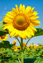 Big sunflower in the field, spring landscape Royalty Free Stock Photo