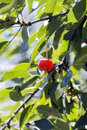 Big sweet and juicily cherries Royalty Free Stock Image