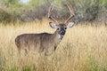 Big tall whitetail buck Royalty Free Stock Photo