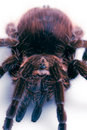 Big Tarantula Stock Photo