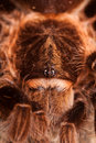Big Tarantula on Rock Royalty Free Stock Images