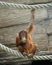 Big terrible orangutan Royalty Free Stock Photos