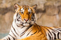 Big tiger staring sitting on the rock Royalty Free Stock Image