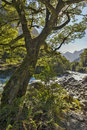 Big tree by creek on the way to Milford Sound Royalty Free Stock Photo