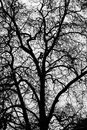 Big tree detail view of the silhouette of a monumental and it s branches Royalty Free Stock Images