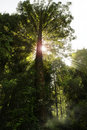 Big tree in a forest with sun rays Stock Image