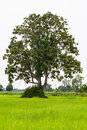 Big tree in the green fields. Royalty Free Stock Photo
