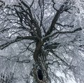 Big tree with hole opening and all branches beautifully covered in a layer of snow stunning christmas winter scene Royalty Free Stock Photo