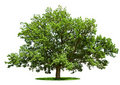 Big tree - oak isolated on a white Royalty Free Stock Photo